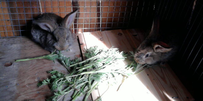 Вздутие живота у кроликов