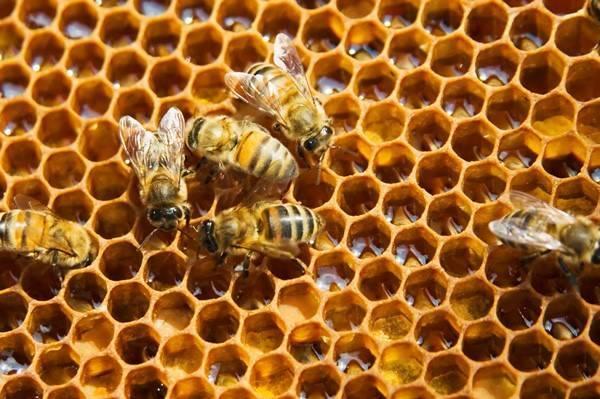 Соты и пчелы фото