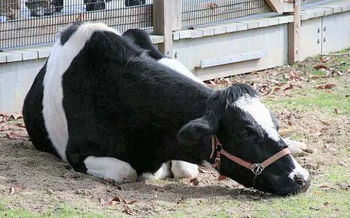 Эндометрит коров