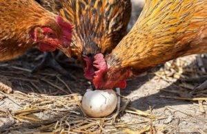 Курица ест яйца