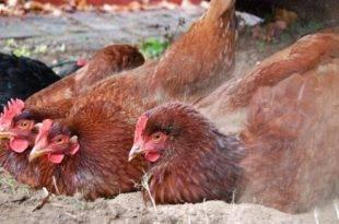 Куриный клещ как избавиться в домашних условиях