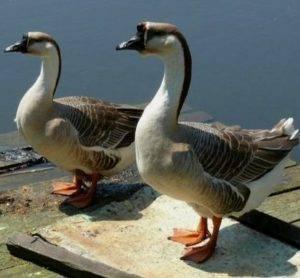 Фото кубанских гусей
