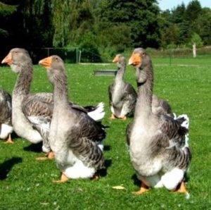 Фото тулузской породы гусей