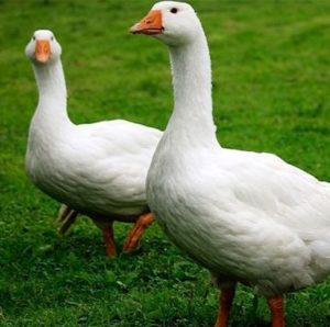 Фото итальянской порода гусей