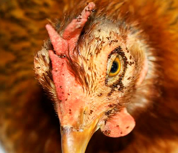 Куриные вши на курице